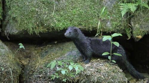 A mink standing on rocks.