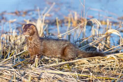American Mink: Habitat and Characteristics