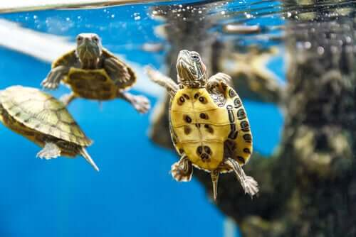 Three aquatic turtles swimming in a tank.