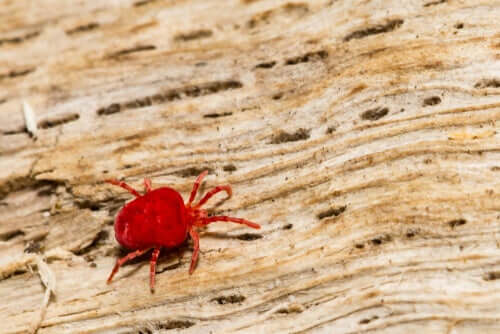A species of mite.