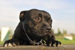 A black dog lying down.