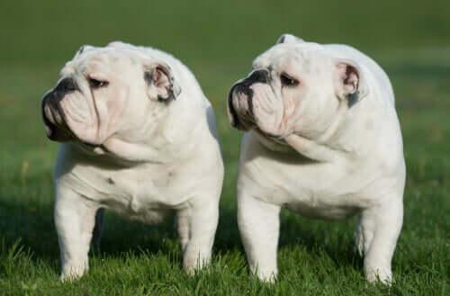 Two bulldogs in a field.