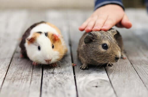 Domestic Guinea Pig Care: 5 Common Mistakes