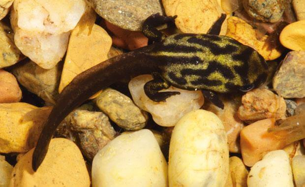 A tadpole sitting on some underwater rocks.