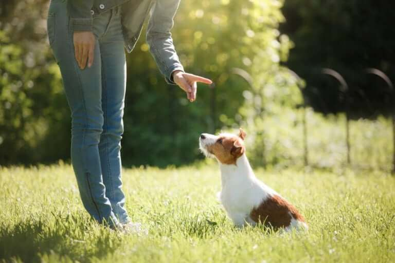 A dog owner telling their dog to sit in a grassy field.