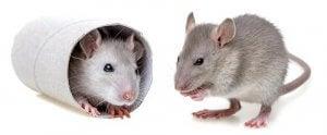 Two laboratory mice.