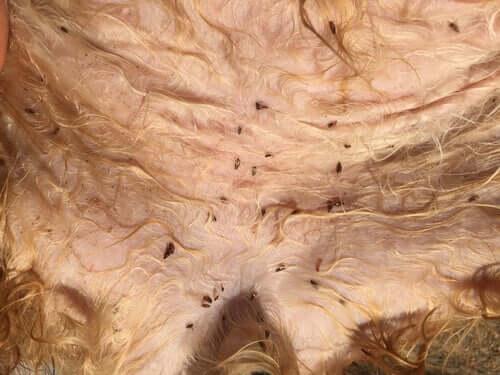 Fleas crawling on a dog's stomach.