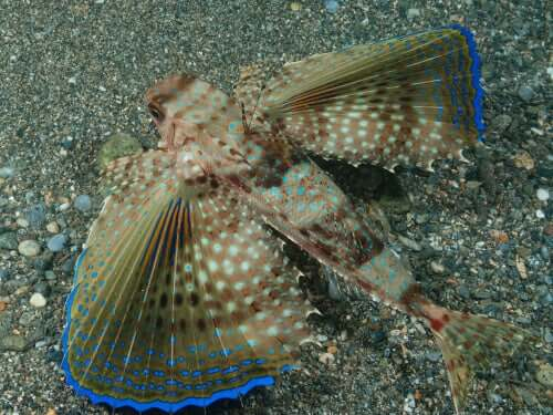A flying gurnard swimming along the bottom of the sea.