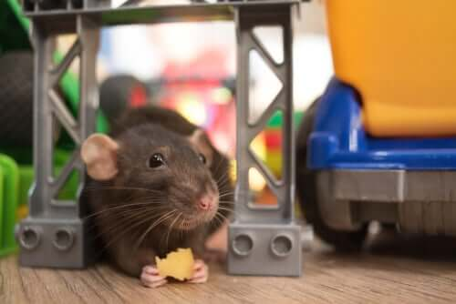 Rat intelligence symbolized by a rat holding a piece of cheese in its hands.