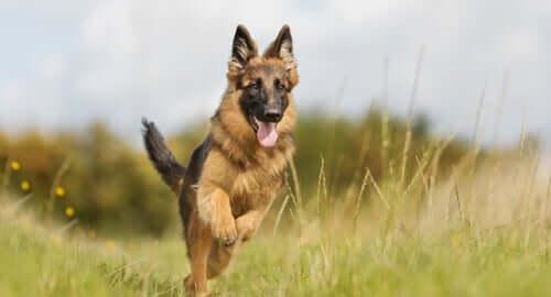 A German shepherd running in field.
