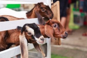 Goats in a pen.