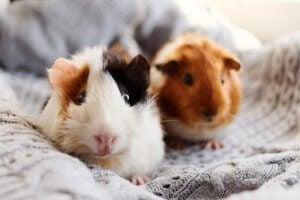 Domestic guinea pigs.