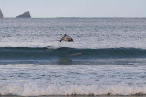 A Hectors dolphin off the coast of New Zealand.