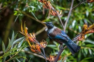 Tui live in the forests of New Zealand.