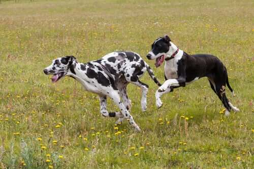 Two Great Danes in a field.