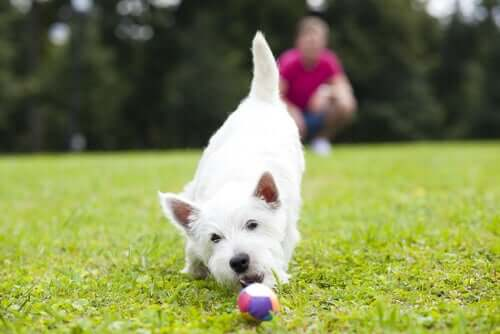 A dog playing with a ball on the grass.