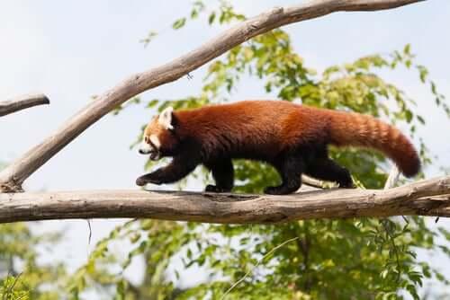 A red panda walking along a tree branch.