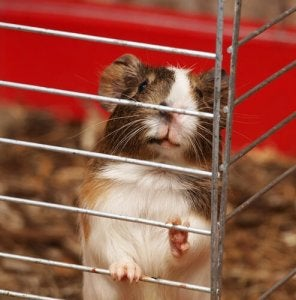 A domestic guinea pig in a cage.