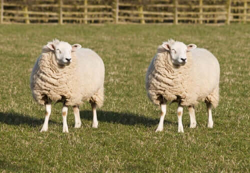 Two sheep standing next to each other in a field.