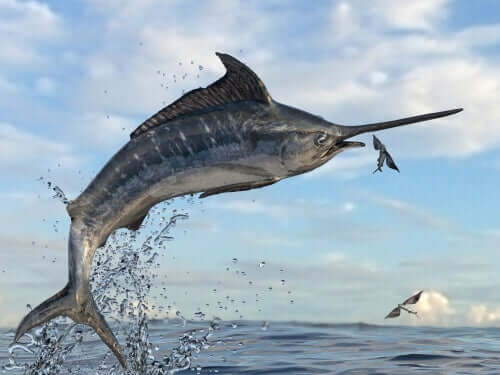 A swordfish jumping out of the water to try to catch a flying fish.