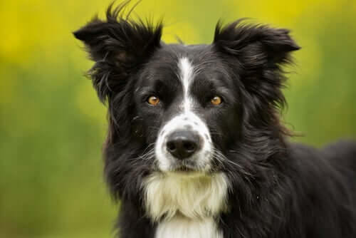 A Border collie looking straight at the camera.