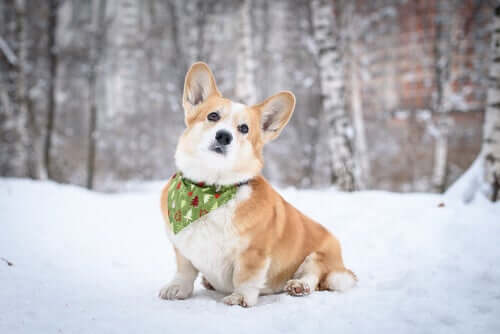 A Corgi sitting on the snow.