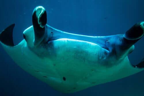 A closeup of a manta ray.