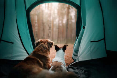A couple of dogs in a tent looking out.