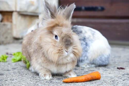 A lionhead rabbit.
