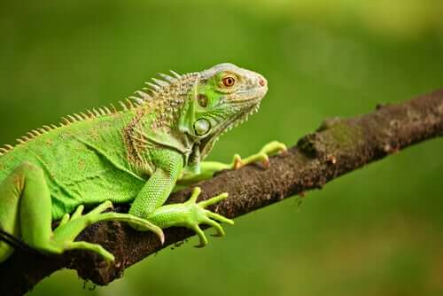 Green Iguanas - What Do They Eat?
