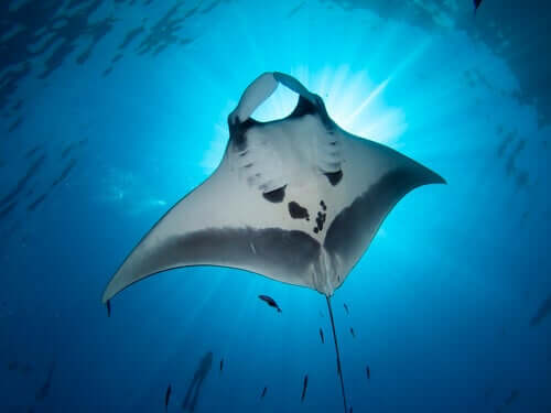 The Manta Ray - Beautiful and Mysterious
