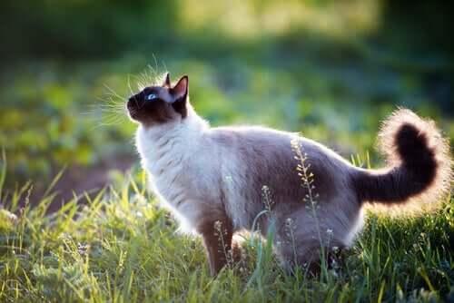 A siamese cat in the yard.