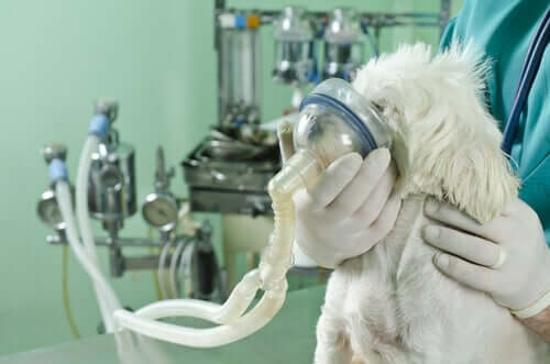 A vet helping a dog breath using tea tree oil.