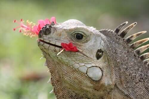 An iguana eating flowers.