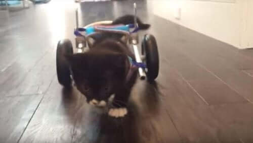 Meet Cassidy, The Kitten Who Walked Again Thanks to New Technologies