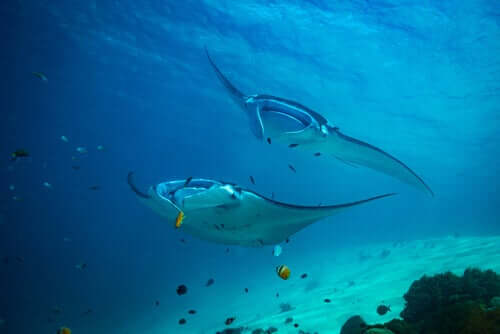 Two manta rays swimming side by side.