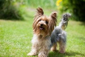 A Yorkshire Terrier in a garden.