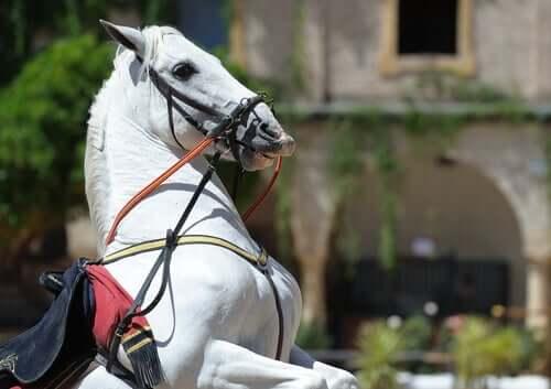 A Percheron horse.