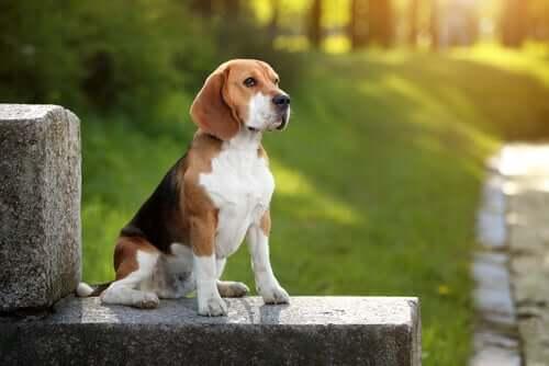 A beagle in a park.