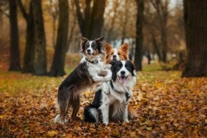 Three collies in a wood.