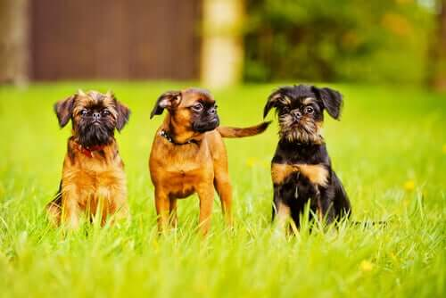 The Brussels Griffon: Small but with Plenty of Character