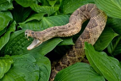 A rattlesnake in some leaves.