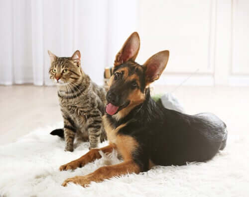 A dog and cat sitting together in a living room.