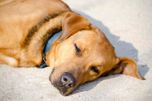 A dog lying on the carpet.