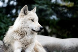 A wolf resting.