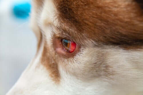 Eye Spills in Dogs and How to Treat Them