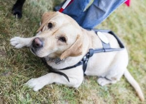 A guide dog on a harness.