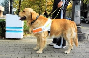 A guide dog on a lead.