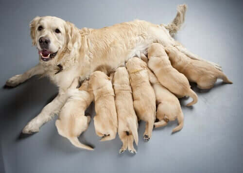 A group of puppies suckling their mother.