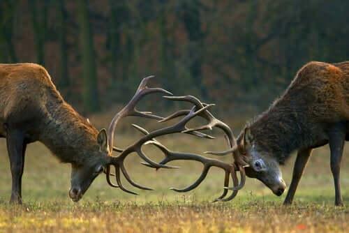 Two deer rutting.